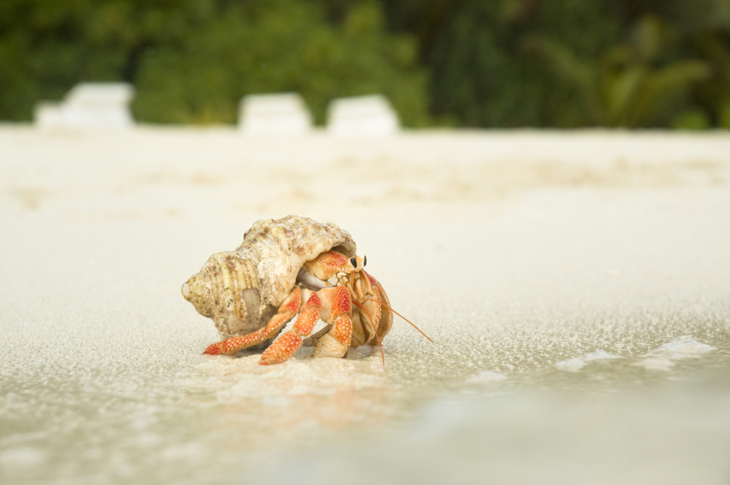 hermit crab standing by the shore of the ocean